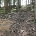 Wurzeln auf der Downhill Strecke
