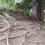 """Wurzeln im oberen Teil des """"Downhill"""". Hier ist der Trail gut fahrbar"""